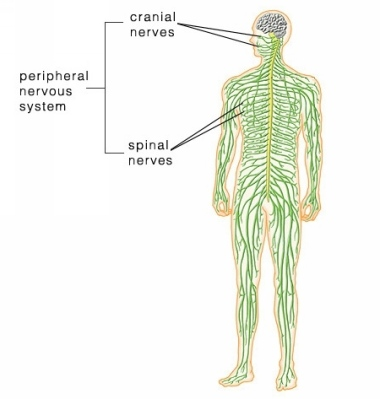 peripheral_nervous_system